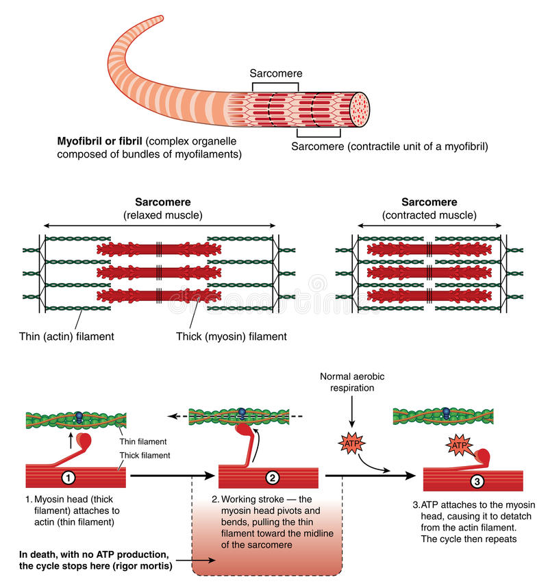 Mechanism of muscle contraction. Detail of a muscle sarcomere showing thin and thick filaments and mechanism of mechanical contraction royalty free illustration