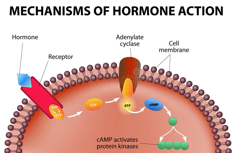 Mechanisms of hormone action stock illustration