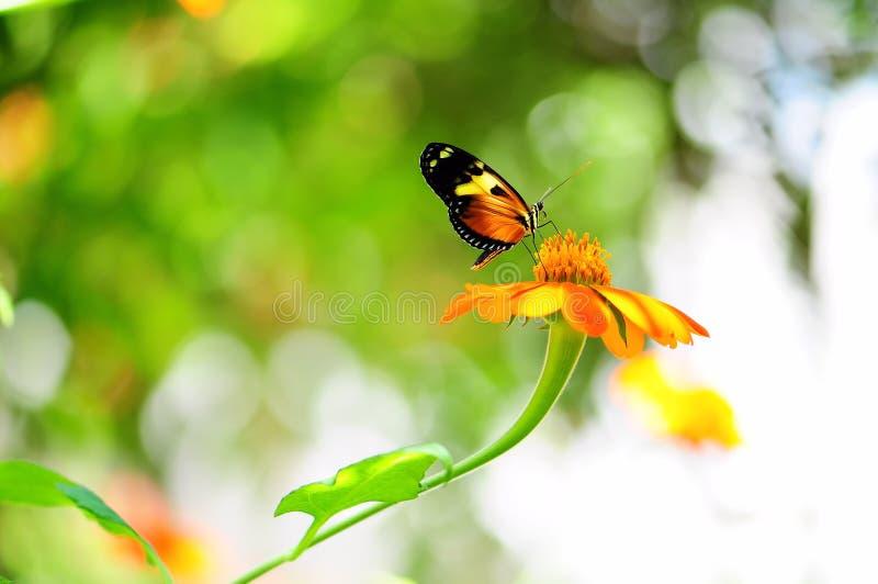 mechanitis πεταλούδων στοκ φωτογραφία
