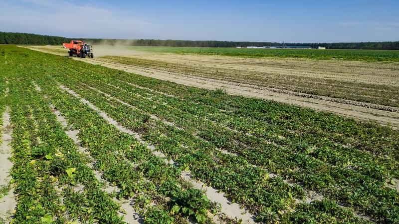 Mechanized harvesting of sugar beets in a field in the Poland on a sunny day in the end of the autumn season.  stock photo