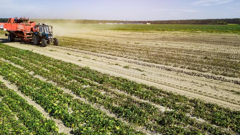 Mechanized harvesting of sugar beets in a field in the Poland on a sunny day in the end of the autumn season.  royalty free stock photo