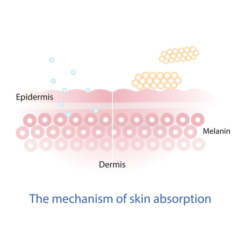 Mechanizm odżywki absorbowanie przez skóry warstwy ilustracja wektor