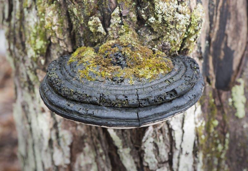 Mechaty Czarny Kinkietowy grzyb na Dębowym drzewie fotografia stock