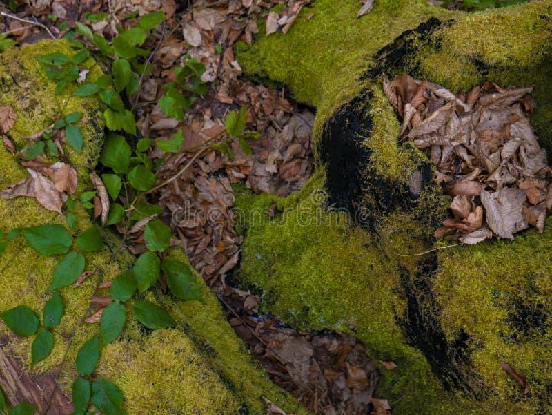 Mechaty fiszorek w przyrosta lesie w jesieni fotografia royalty free
