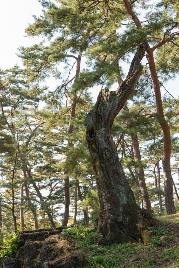 Mechaty nieżywy drzewo zdjęcie stock