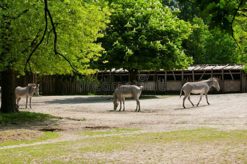 Mechelen, Бельгия - 17-ое мая 2016: Зебры в зоопарке Planckendael стоковые изображения
