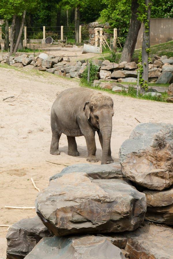 Mechelen, Bélgica - 17 de maio de 2016: Elefantes no jardim zoológico de Planckendael fotografia de stock