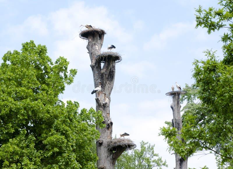 Mechelen, Bélgica - 17 de maio de 2016: Ninhos da cegonha em árvores no jardim zoológico de Planckendael imagens de stock
