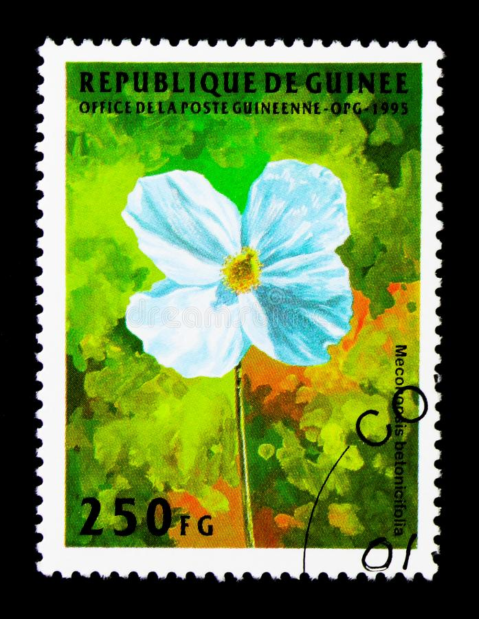 Meconopsis betonicifolia, Flowers serie, circa 1995. MOSCOW, RUSSIA - NOVEMBER 26, 2017: A stamp printed in Guinea shows Meconopsis betonicifolia, Flowers serie stock image