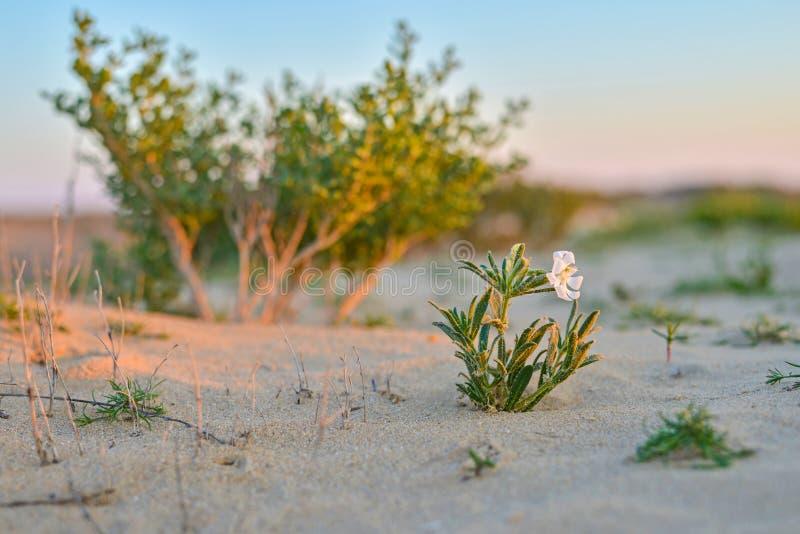 Med den lösa blomman i den Qatari öknen arkivfoton