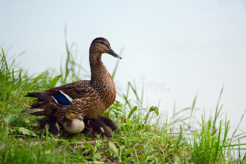 And med ducklings royaltyfria foton