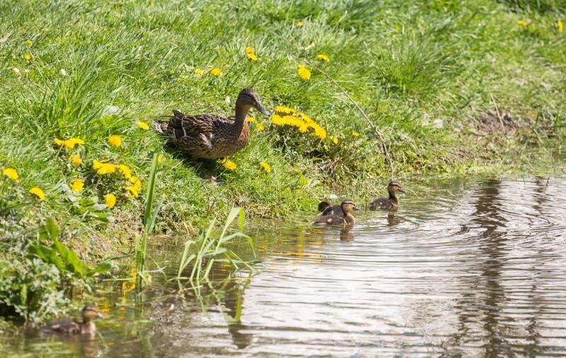 And med ducklings arkivbild