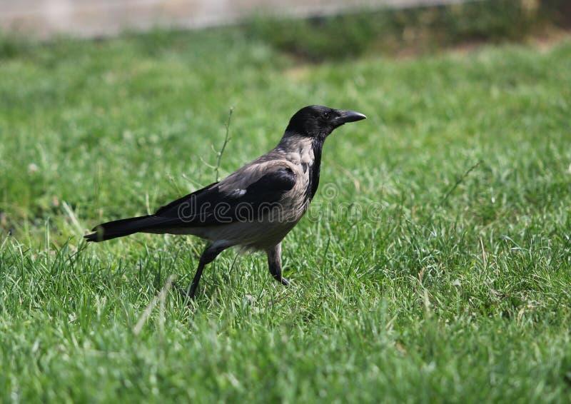 Med huva galande (Corvuscornix) Grey Corvid Bird Hoodiecrow Corbie royaltyfri bild