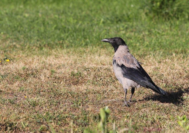 Med huva galande (Corvuscornix) Grey Corvid Bird Hoodiecrow Corbie arkivfoton