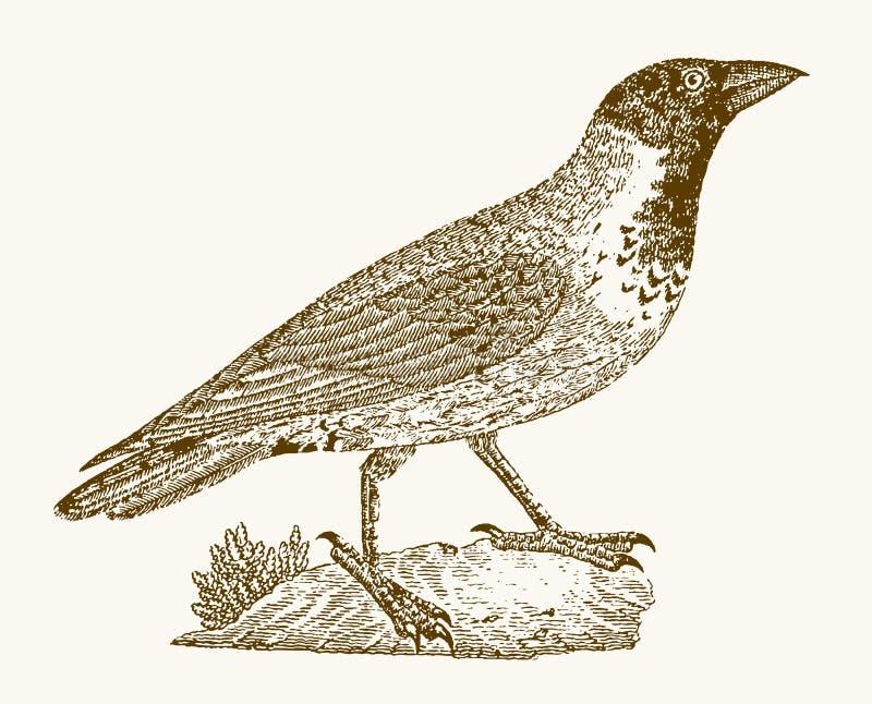Med huva galandecorvuscornix i profilsikt royaltyfri illustrationer
