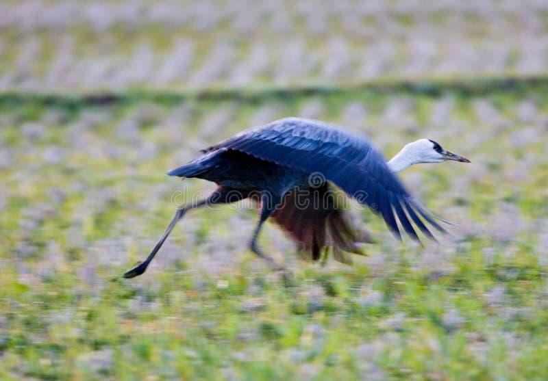 Med huva kran, Monnikskraanvogel, Grusmonacha royaltyfri foto