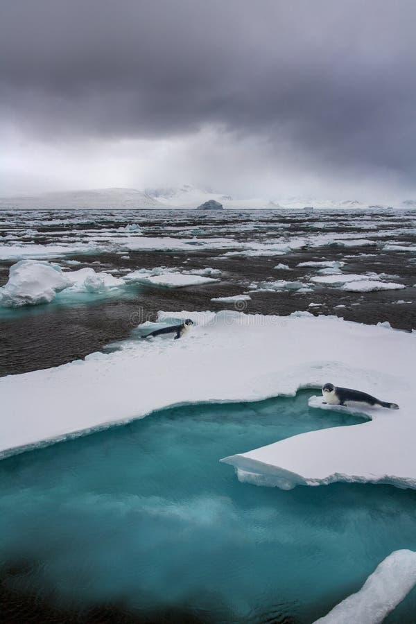 Med huva skyddsremsor - det arktiska havet - Grönland arkivfoton