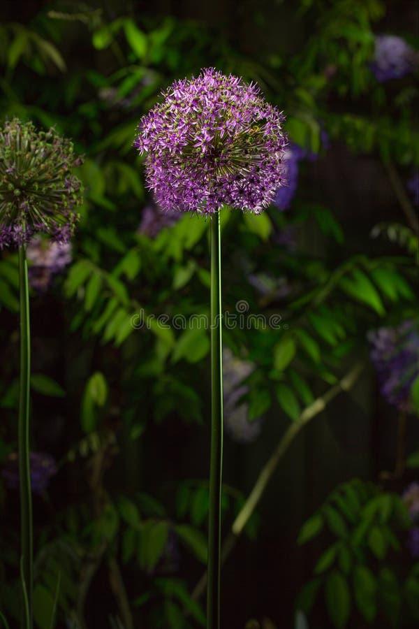 Med natten som faller, glöder en purpurfärgad Alliumblomning, i skymningen royaltyfria foton
