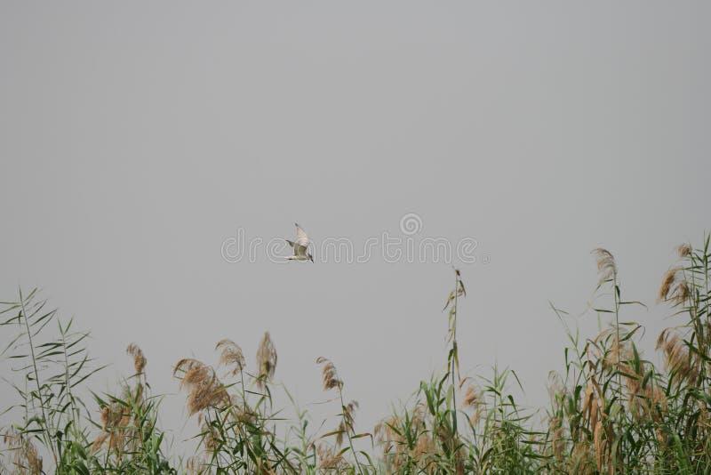 Med polisonger tärna, vit som är utvandrande, fågel, djurliv, natur royaltyfria foton