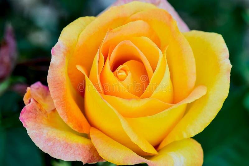 Medalha de ouro Rose Flower Macro fotografia de stock