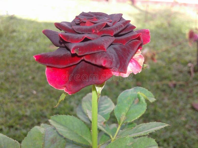 Medborgarerosa blommor royaltyfri bild