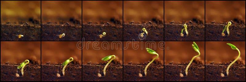 meddelat var framtida växande plantor Växter växer etapper Plantatillväxtperioder arkivfoto