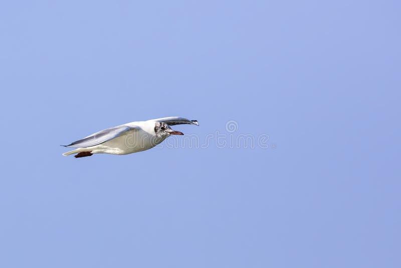Medelhavs- fiskmås (Larusmelanocephalusen) royaltyfria bilder