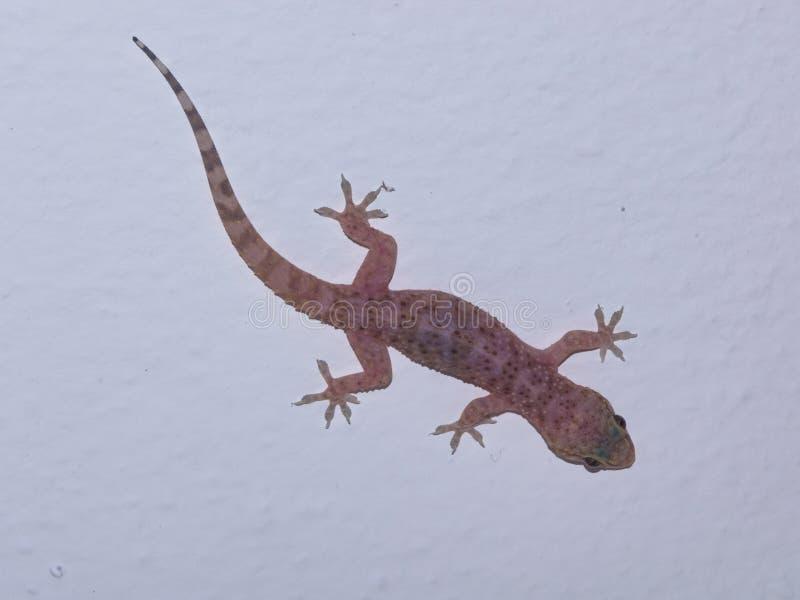 Medelhavs- husgecko på en vit väggnärbild, selektiv fokus, grund DOF royaltyfri foto