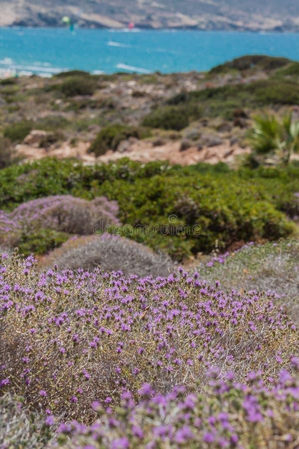 Medelhavs- mackie flora royaltyfri bild