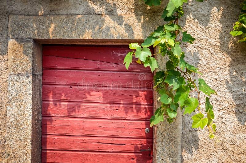 Medelhavs- röd målad trädörr med filialer för vita druvor som över hänger D?rr f?r vink?llare konstgjord bl? ljus stenv?gg Vinodl royaltyfri fotografi