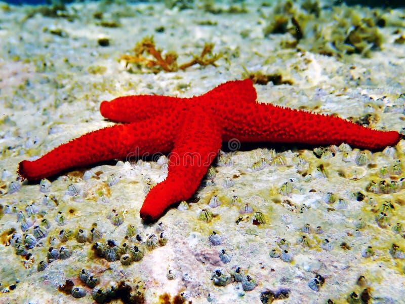 Medelhavs- Röda havetstjärna - Echinaster sepositus royaltyfri bild