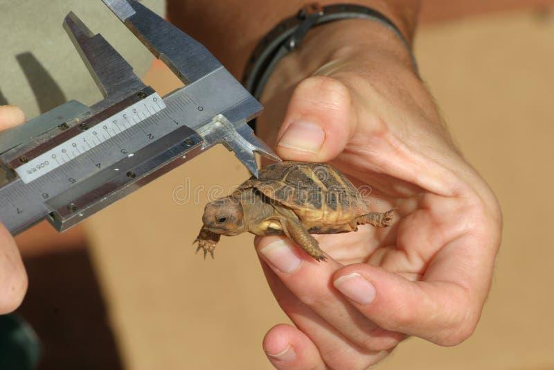 medelhavs- sköldpadda för mätning royaltyfri fotografi