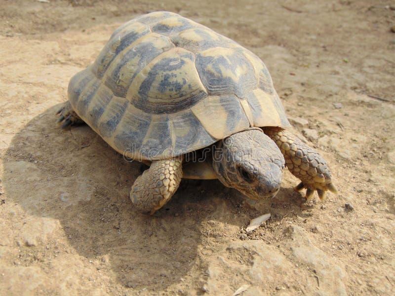 medelhavs- sporra den thighed sköldpaddan som kryper på jordningen, slut upp fotografering för bildbyråer