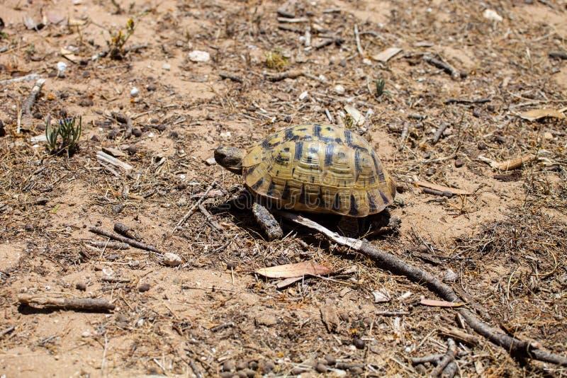 Medelhavs- sporra-thighed sköldpaddan, Testudograeca, i nordliga Marocko royaltyfri fotografi
