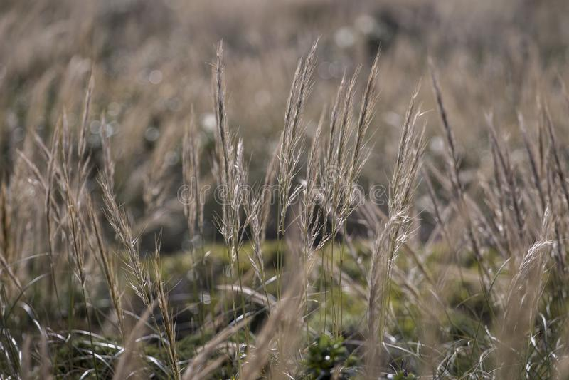Medelhavs- visargräs (Stipa capensis) royaltyfria bilder