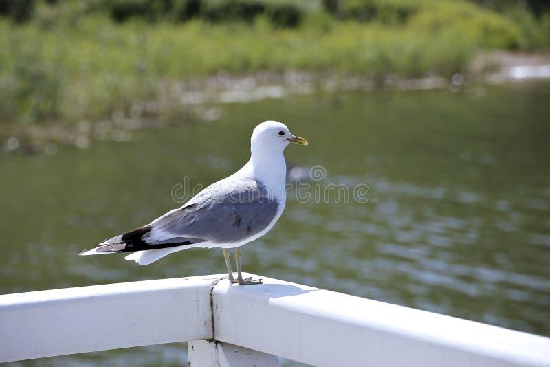 Medelhavs- vit seagull royaltyfri bild