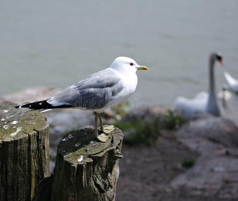 Medelhavs- vit seagull arkivfoton