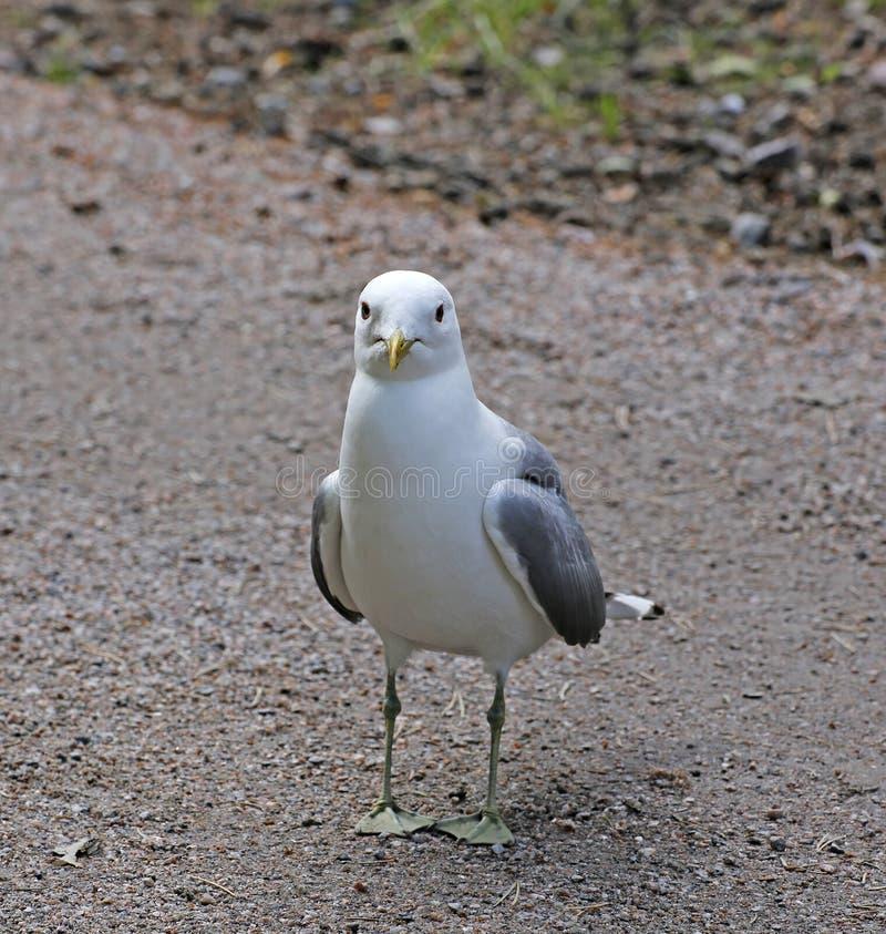 Medelhavs- vit seagull royaltyfri fotografi