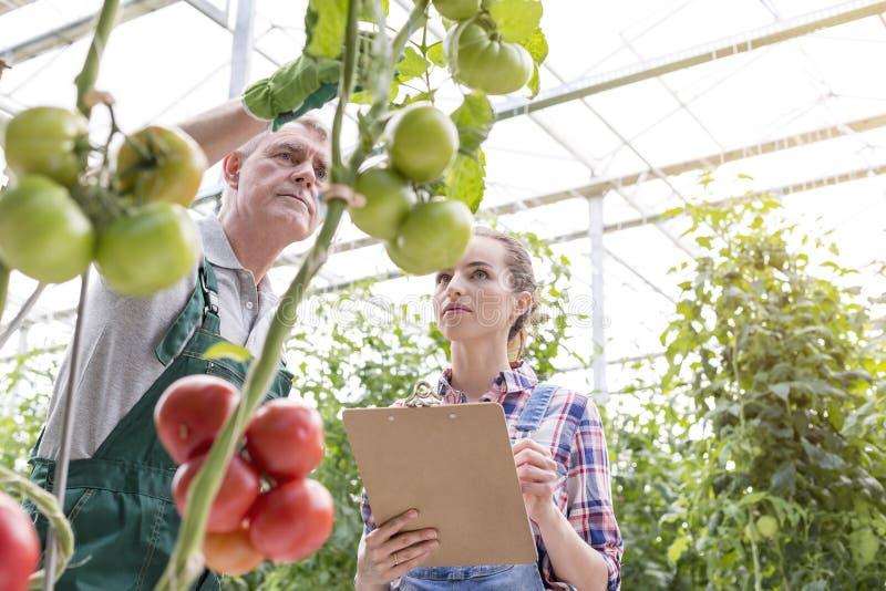Medewerkers die tomatenplanten in serre onderzoeken royalty-vrije stock afbeelding