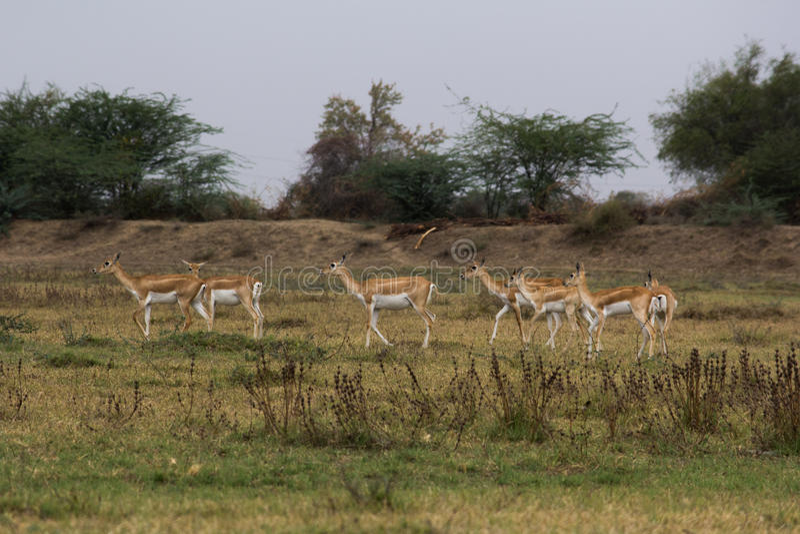 Medha Zwart Buck Sanctuary in Ahmedabad, India royalty-vrije stock foto