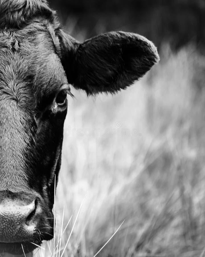 Media cara de la vaca imagenes de archivo