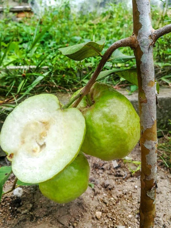 Media fruta de guayaba con la hoja verde aislada en el fondo blanco fotos de archivo
