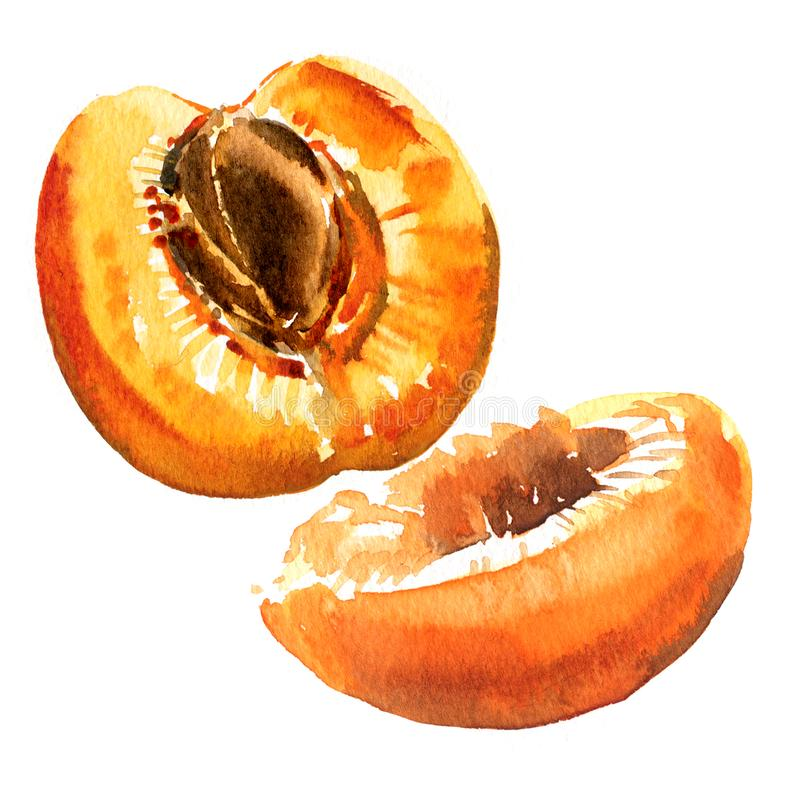 Media fruta dulce fresca del albaricoque, primer orgánico maduro jugoso aislado, del albaricoque ejemplo dibujado mano de la acua stock de ilustración