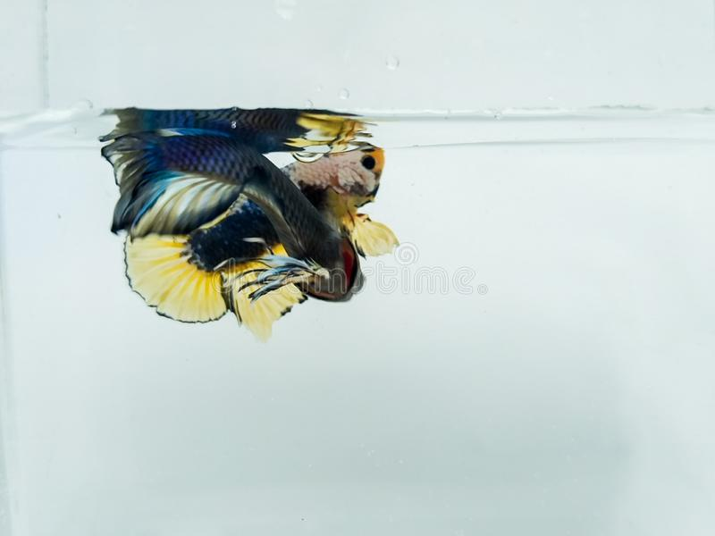 Media luna azul hermosa y pescados amarillos de oro del betta del plakad con las aletas mullidas aisladas fotografía de archivo