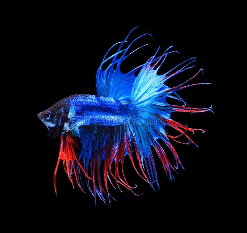 Media luna siamesa roja y azul de los pescados que lucha, aislante de los pescados del betta fotos de archivo