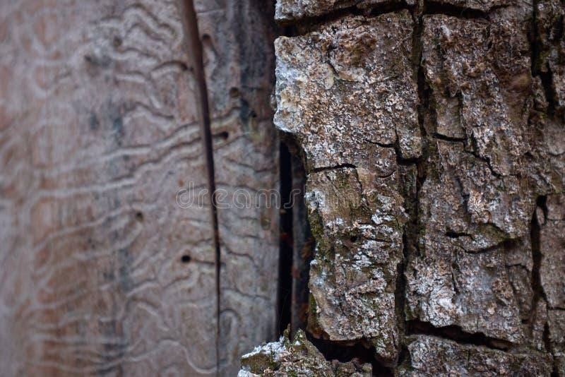 Media textura de la corteza de árbol en un árbol de abedul fotos de archivo libres de regalías