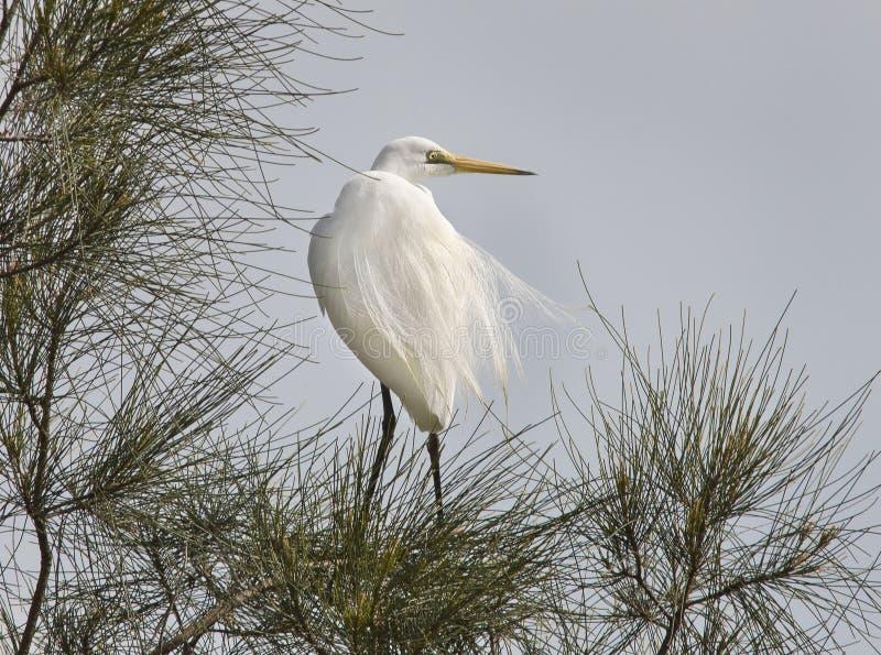 Mediados de costa del norte NSW Australia de la gran de la garceta orilla del lago alba del Ardea imágenes de archivo libres de regalías