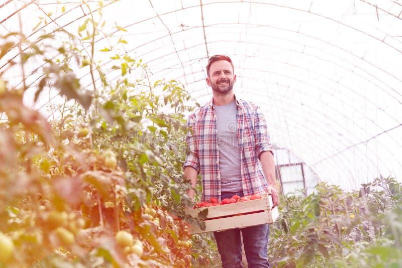 Mediados de granjero adulto con los tomates en caj?n que camina en el invernadero imagen de archivo