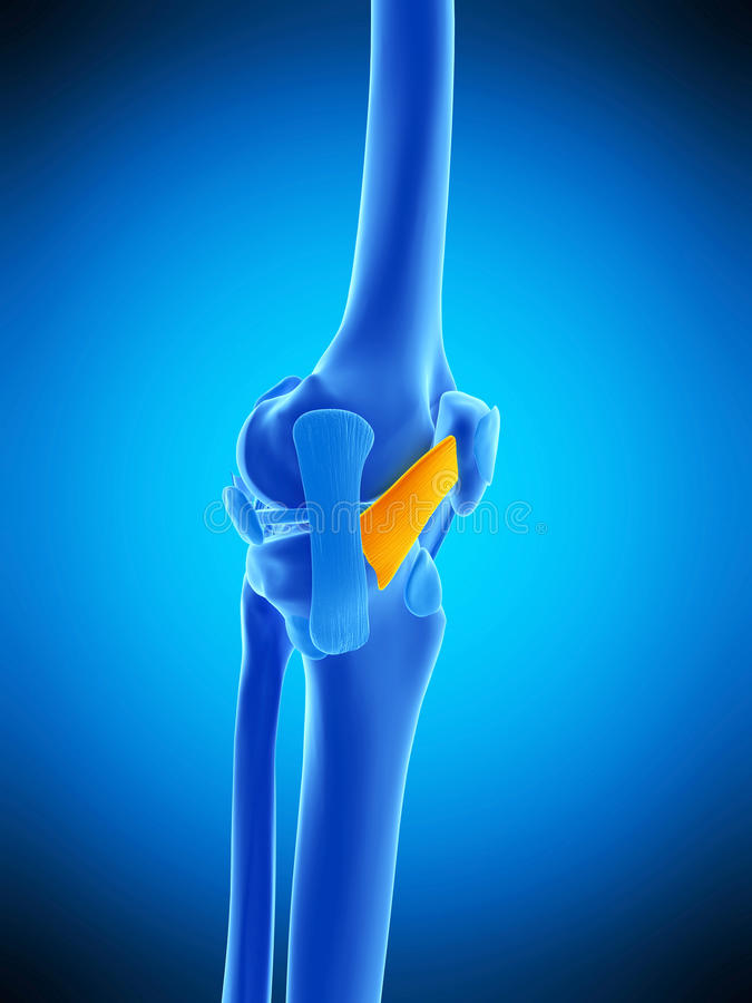 The Medial Patellar Ligament Stock Illustration Illustration Of
