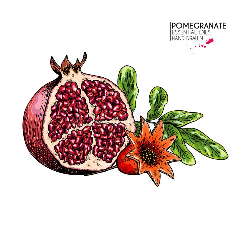 Medias granada y flor dibujadas mano Ejemplo coloreado grabado vector Fruta natural jugosa Comida sana stock de ilustración